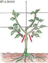 Espalier Pruning - ©Copyright T.A.Shaw