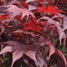 Shade Loving Plants - Acer Palmatum - Japanese Maples.