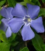 Shade Loving Plants - Vinca - Periwinkle (Vinca minor & Vinca major)