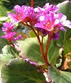 Shade Loving Plants. Elephant's Ears - Bergenia