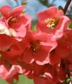 Shade Loving Plants. Flowering Quince - Chaenomeles