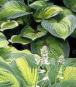 Shade Loving Plants. Hostas - Plantain lily.
