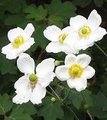 Shade Loving Plants. Japanese Anemones