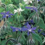 Grow your own herbs - Borage