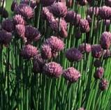 Grow your own herbs - Chives - Allium schoenoprasum