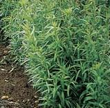 Grow your own herbs - Russian Tarragon - Artemisia dracunculus 'Russian'