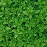 Grow your own herbs - Oregano - Origanum vulgare (Wild Marjoram)