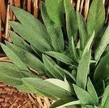 Grow your own herbs - Sage - Salvia officinalis