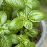 Grow your own herbs - Basil : Basilico Genovese