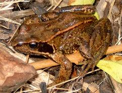 The common frog (Rana temporaria).