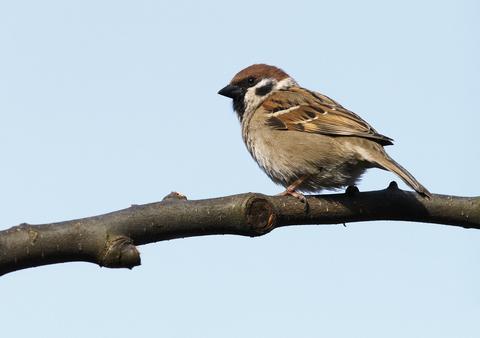 House Sparrow - Passer...