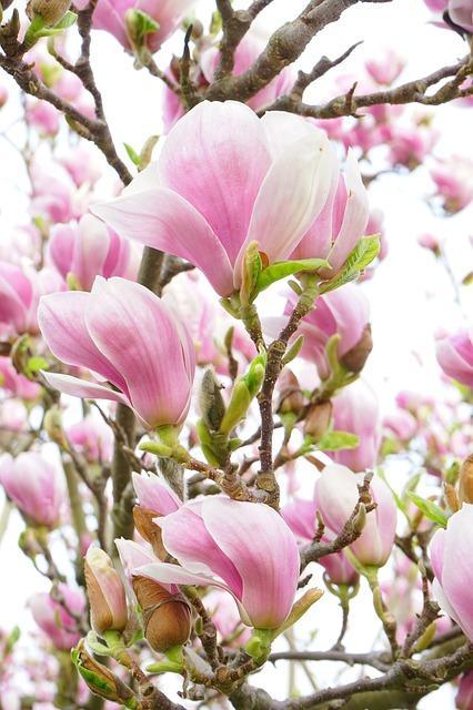 Magnolia Trees Plant Database