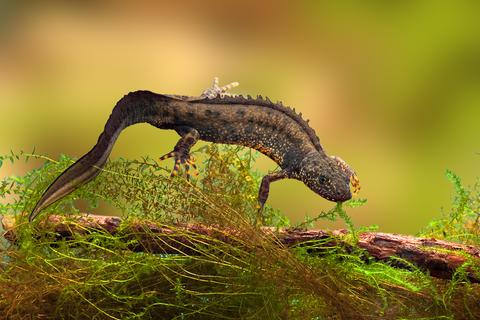 Great crested newt - © Dirk Ercken | Dreamstime.com