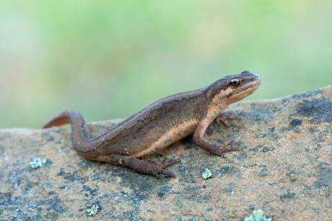Smooth Newt - © O2beat | Dreamstime.com